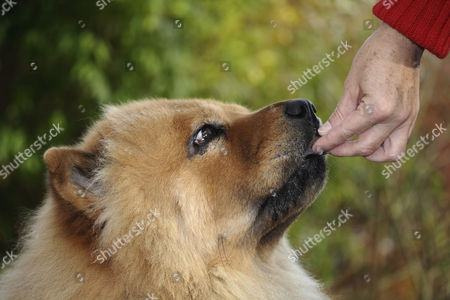 Stock Image of Red Chow Chow (Canis lupus familiaris) being fed by hand