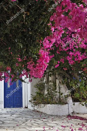 House entrance and an arbour covered with Bougainvillea (Bougainvillea), Oia, Santorini, Greece