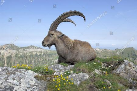 Alpine Ibex (Capra ibex) sitting in spring flowers, the Bernes Alps in the background, Bern, Switzerland