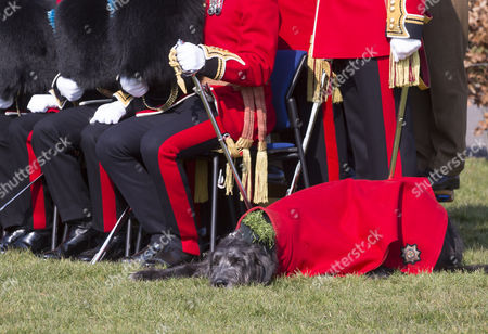 The regimental mascot, an Irish Wolfhound, Domhnall