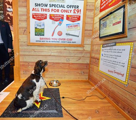 Editorial image of Crufts Dog Show - Gun Dogs Day 1 At The National Exhibition Centre Birmingham West Midlands. Worlds First Dog Selfie As 18 Month Old Spaniel 'gabby' From Tewkesbury Gloucestershire Gets Her Selfie Done.