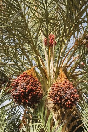 Bunches of ripe dates at a date palm (Phoenix dactylifera), palmeries around Rissani in the Tafilalt, Southeast Morocco, Marocco