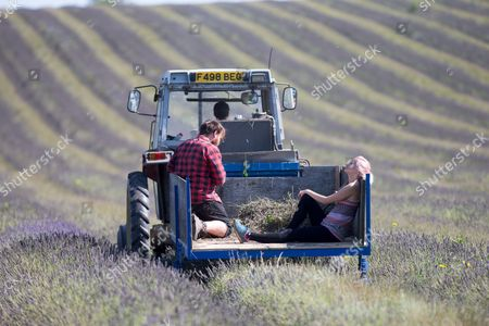 Sophie Ward and Will Coles helping with the lavender harvest