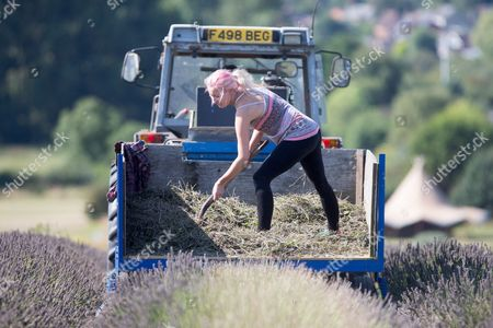 Sophie Ward helping with the lavender harvest