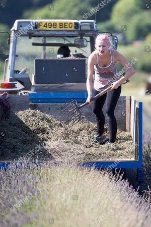 Editorial image of Lavender harvest at Cadwell Farm, Hitchin, Hertfordshire, UK - 30 Aug 2016