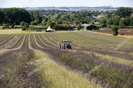 Editorial photo of Lavender harvest at Cadwell Farm, Hitchin, Hertfordshire, UK - 30 Aug 2016