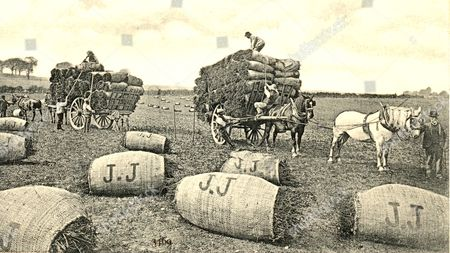 Picture postcard of the mint harvest, 1905