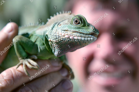 Hollywood animal trainer Jules Sylvester, originally from Devon, Britain, has worked along side Hollywood's elite with his spiders, snakes, cockroaches, lizards, frogs and bugs. His credits include, 'There's Something About Mary', 'Jurassic Park', 'The Hulk' and 'Men In Black'. Jules Sylvester with a Green Iguana