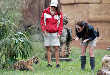 "Satu, Sarah Chapman, Stacy Pereda Zoo Miami carnivore keepers Stacy Pereda, center, and Sarah Chapman, right, look on as Satu, an endangered Sumatran tiger cub that was born at Zoo Miami on November 14th, plays, in Miami. Satu, which means ""one"" in Malay, was being given access to the exhibit for feedings and some play time to experience the sights and smells of what will eventually be his home"
