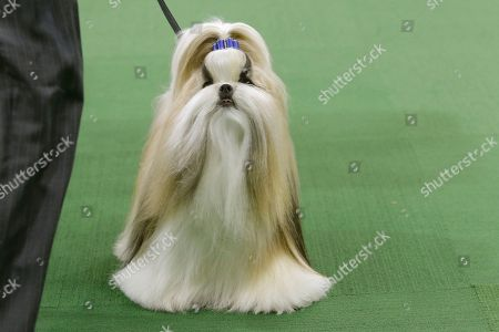 Rocket, a shih tzu, co-owned by heiress Patty Hearst, is shown in the ring during the toy group competition at the Westminster Kennel Club dog show, at Madison Square Garden in New York