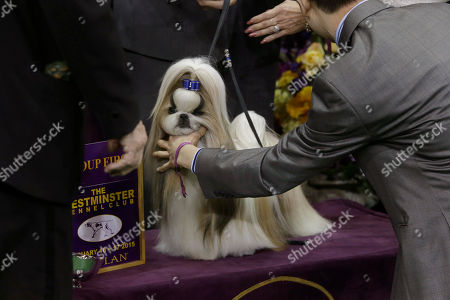 Rocket, a shih tzu, co-owned Patty Hearst, is shown is posed for a photo after winning the toy group competition at the Westminster Kennel Club dog show, at Madison Square Garden in New York