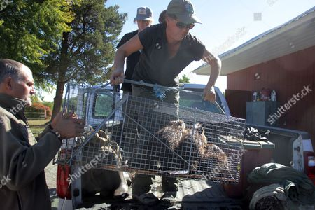 Kelly Perry, Mike Bosko, Garrett Pittis State biologist Kelly Perry hoists a cage with three young beavers onto a pickup truck with the help of Mid-Columbia Fisheries Enhancement Group staffers Mike Bosko and Garrett Pittis at a holding facility in Ellensburg, Wash. Under a program in central Washington, nuisance beavers are being trapped and relocated to the headwaters of the Yakima River where biologists hope their dams help restore water systems used by salmon, other animals and people