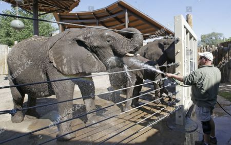 Eric Peterson, elephant manager at the Utah's Hogle Zoo, hoses down his elephants before temperatures nudge into triple digits, in Salt Lake City