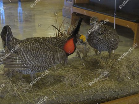 This photo from, shows a display of two stuffed lesser prairie chickens at the Kansas Statehouse, in Topeka, Kan. U.S. Rep. Tim Huelskamp, a Kansas Republican, says he's working with other members of Congress on proposals to slash the budget of the federal agency that has listed the grouse as threatened