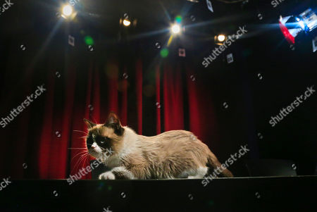 Grumpy Cat, an Internet celebrity cat whose real name is Tardar Sauce, walks on a table during a television interview on in New York. Known for her facial expression, her owner Tabatha Bundesen says that Grumpy Cat's permanently grumpy-looking face is due to feline dwarfism