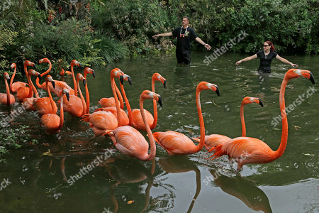 Flamingos Zookeeper Jessica Klumb, right, and zoo spokesman Ron Magill roundup Caribbean Flamingos at Zoo Miami in Miami, . The flamingos are being moved to a new location as the zoo prepares for renovations