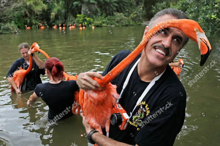 Ron Magill, Flamingos Zoo spokesman Ron Magill holds a flaming during a roundup of Caribbean Flamingos at Zoo Miami in Miami, . The flamingos are being moved to a new location as the zoo prepares for renovations
