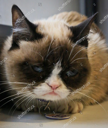 Grumpy Cat, an Internet celebrity cat whose real name is Tardar Sauce, is photographed on in New York. Known for her facial expression, her owner Tabatha Bundesen says that Grumpy Cat's permanently grumpy-looking face is due to feline dwarfism