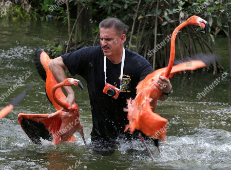 Editorial picture of Flamingo Roundup, Miami, USA
