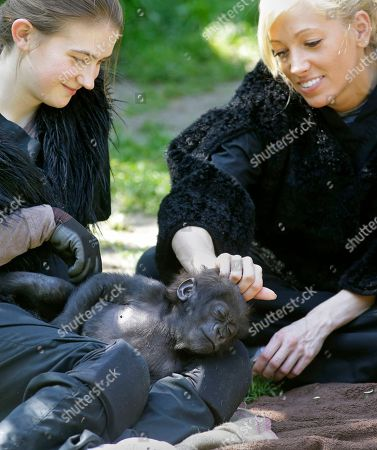 Stephanie Carr, Ashley Chance Stephanie Carr, right, scratches a three-month-old Western Lowland gorilla named Gladys on the head as she sleeps in the lap of Ashley Chance, in the outdoor gorilla exhibit at the Cincinnati Zoo in Cincinnati. The baby gorilla was born Jan. 29 at a Texas zoo to a first-time mother who wouldn't care for her. Zoo workers and volunteers are acting as surrogate mothers to prepare the baby to be introduced to two female gorillas at the Cincinnati Zoo who might accept her. Humans acting as surrogate mothers wear vests and materials to make them appear more like a gorilla