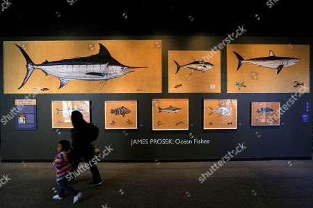 """Stock Photo of People pass paintings by James Prosek of saltwater fish at The Academy of Natural Sciences of Drexel University in Philadelphia. His work has been compared to the famous 19th century naturalist and painter John James Audubon, whose """"Birds of America"""" prints are still treasured for their beauty and accuracy. The James Prosek: Ocean Fishes exhibit at the academy is scheduled to open Oct. 13 and run through Jan. 21"""