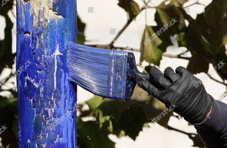 "A Sycamore tree is washed with blue dye as part of a living art display in downtown Sacramento, Calif., . ""The Blue Trees"" is part of a living outdoor art project by Australian artist Konstantin Dimopoulos, who has colored the trees in four other cities since 2006. The trees are colored with a ultra marine blue nontoxic dye that is safe for trees, people and creatures and will wash off in about six months"