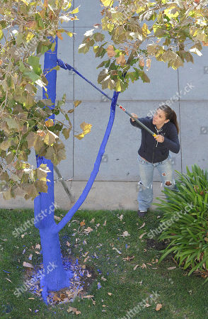"Stock Picture of Volunteer Kelly Fiock coats a Sycamore tree with blue dye as part of a living art display in downtown Sacramento, Calif., . ""The Blue Trees"" is part of a living outdoor art project by Australian artist Konstantin Dimopoulos, who has colored the trees in four other cities since 2006. The trees are colored with a ultra marine blue nontoxic dye that is safe for trees, people and creatures and will wash off in about six months"