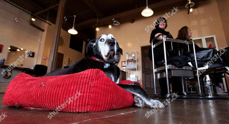 """Solomon, a Dalmatian-German shepherd mix estimated to be about 14 years old, lounges on his bed in the shop where his owner, Lisa Black, works on a client's hair in Seattle. Black owns the Stardust Salon and Spa and Solomon goes to work with her every day to greet customers. """"If they don't like him, it's not the place for them,"""" Black said"""