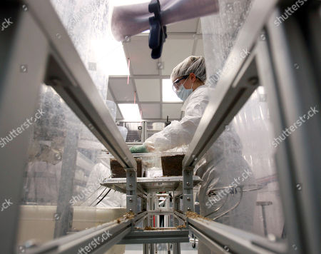 Emily Carr Emily Carr works in a cleanroom as she loads mycelium and other raw materials into a tray that will age to become an eco-friendly packaging material at Ecovative Design in Green Island, N.Y., on