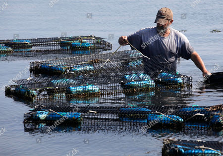 Fisherman Bill Sweeney, of Vineyard Haven, Mass., collects adult scallops from cages in Lagoon Pond, in Vineyard Haven, on the island of Martha's Vineyard, . Sweeney removed the scallops, where they were placed to spawn, to be released back in the wild in advance of Hurricane Irene. The scallops could be killed if left in the traps during a hurricane