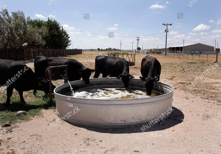 Cattle drink water at a ranch owned by Brad Williams who has sold half of his cattle due to the drought in Canyon, Texas, . After enduring nearly a year of drought, Texans have grown accustomed to seeing acres of withered crops, scores of dried-up ponds and mile after mile of cracked earth