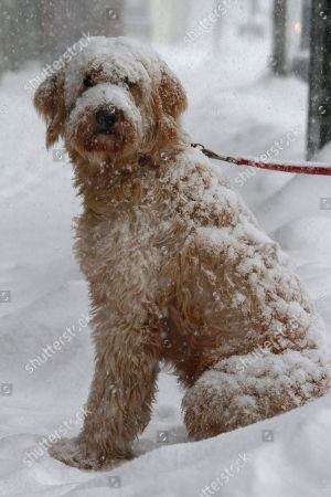 Stock Image of A dog named Muldoon waits in the snow for its owner, Tess Taylor, who stopped for coffee on in Barre, Vt. Schools, business and municipal offices are closed across Northern New England as the storm-weary region braces for what forecasters say could be more than a foot of snow in some places. Early Wednesday snow was falling heavily across much of Maine, New Hampshire and Vermont after a smaller storm dropped a few inches across the region on Tuesday