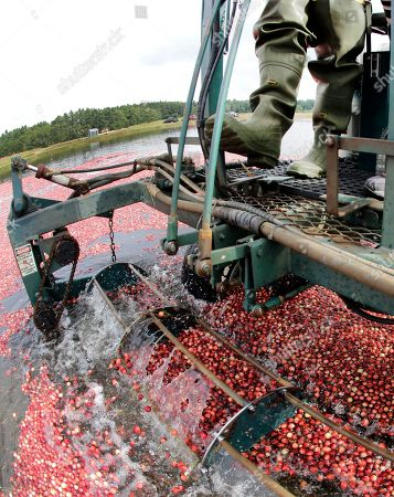 Editorial image of Food and Farm Cranberry Crisis, Rochester, USA - 20 Sep 2016