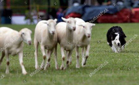 Luke, a border collie, chases sheep during an exhibition at the 61st Annual Grandfather Mountain Highland Games in Linville, N.C., Friday, July 8, 2016.