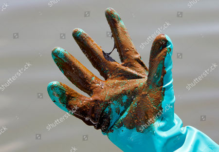 Stock Picture of National Wildlife Federation naturalist David Mizejewski shows his glove covered in oil from the Deepwater Horizon spill in Bay Jimmy, near Myrtle Grove, La