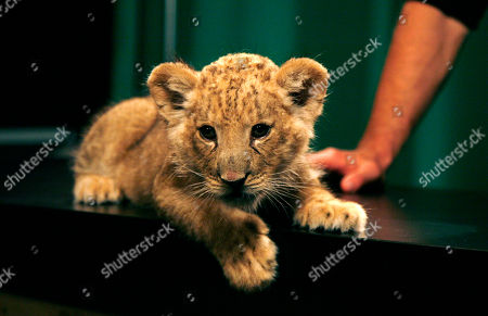 """Dave Salmoni Dave Salmoni, not shown, Animal PlanetÕs large predator expert, talks about a lion cub named Shera in New York, . SalmoniÕs new show """"Into the Pride"""" premieres this week"""