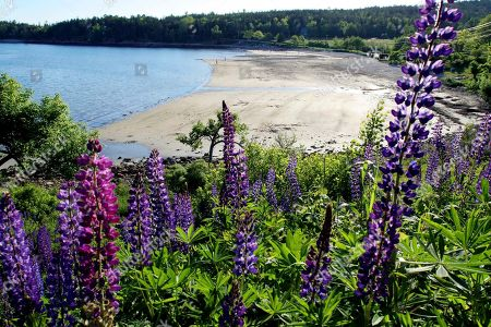 """Lupines fill the hillside above Seal Harbor, Maine, as people walk along the beach at low tide before sunset on Mt. Desert Island. David Rockefeller, whose father John Rockefeller Jr., built the carriage roads that are now part of Acadia National Park, turns 100 on June 12, 2015. He will celebrate by transferring his family property at Little Long Pond in Seal Harbor to the Mount Desert Island & Garden Preserve, describing it as a """"gift to all the people of Maine"""
