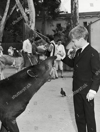 """Jon Provost Like any boy, Jon Provost, star of the """"Lassie"""" series on CBS-TV, enjoys visiting the zoo. So on a day off from work, Jon became part of the audience watching the animals at the San Diego Zoo in San Diego, California on . Jon feeds a friendly tapir during his visit to the zoo"""