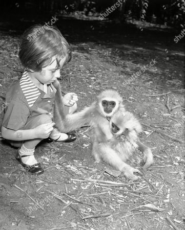 Animals; monkeys; primates Kathy Lennon, 3, of New York City, with a couple of the gibbons in Jungleland at Indian Point Park, Peekskill, New York