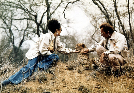British actress Elizabeth Taylor and fiance Richard Burton visit the Kruger Park game reserve, just prior to their re-marriage in Botswana, Africa, Oct. 1975. Here they are seen with 'Taga', a young orphaned cheetah who was nursed backed to health by rangers at the reserve