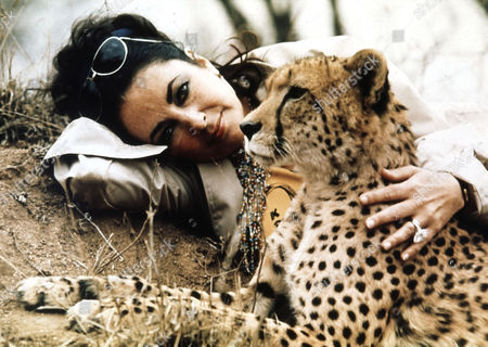 Stock Photo of British actress Elizabeth Taylor visits the Kruger Park game reserve, just prior to her re-marriage to Richard Burton in Botswana, Africa, Oct. 1975. Taylor is seen here with 'Taga', a young orphaned cheetah who was nursed backed to health by rangers at the reserve