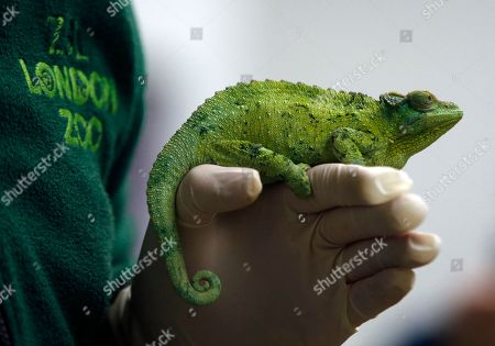 Keeper Luke Harding holds a female Jackson's Chameleon during the annual stocktake press preview at London Zoo in Regents Park in London . A requirement of ZSL London Zoo's license, the annual audit takes keepers a week to complete and all of the information is shared with zoos around the world via the International Species Information System, where it's used to manage the worldwide breeding programs for endangered animals