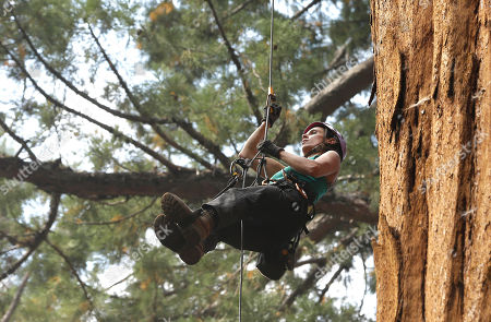 Wendy Baxter, a tree biologist from the University of California Berkeley, climbs a Giant Sequoia tree to retrieve a sensor that measures the temperature and humidity at the Sequoia National Park near Visalia, Calif. Researchers are studying how California's drought is affecting the Giant Sequoias, some more than 3,000 years old and 300 feet tall, making them among the oldest and largest living things on Earth