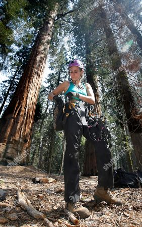 Wendy Baxter, a tree biologist from the University of California Berkeley, prepares to climb a Giant Sequoia tree to retrieve a sensor that measures the temperature and humidity at Sequoia National Park near Visalia, Calif. Researchers are studying how California's drought is affecting the Giant Sequoias, some more than 3,000 years old and 300 feet tall, making them among the oldest and largest living things on Earth