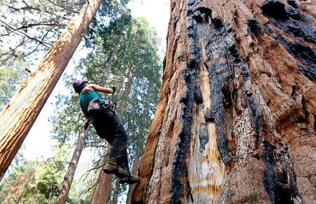 Wendy Baxter, a tree biologist from the University of California Berkeley, climbs a Giant Sequoia tree to retrieve a sensor that measures temperature and humidity, at Sequoia National Park near Visalia, Calif. Researchers are studying how California's drought is affecting the Giant Sequoias, some more than 3,000 years old and 300 feet tall, making them among the oldest and largest living things on Earth