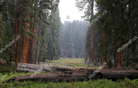 Giant Sequoia trees are seen in a meadow in the at Sequoia National Park near Visalia, Calif. Researchers are studying how California's drought is affecting the Giant Sequoias, some more than 3,000 years old and 300 feet tall, making them among the oldest and largest living things on Earth