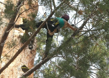Wendy Baxter, a tree biologist from the University of California Berkeley, climbs through the branches of a Giant Sequoia tree to retrieve a sensor that measures the temperature and humidity at Sequoia National Park near Visalia, Calif. Researchers are studying how California's drought is affecting the Giant Sequoias, some more than 3,000 years old and 300 feet tall, making them among the oldest and largest living things on Earth