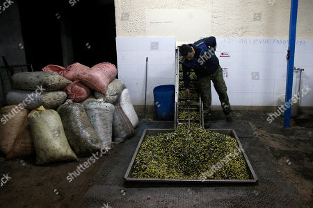 Stock Picture of Christos Vasilopoulos operates machinery as olives are loaded onto a conveyor belt at a family-owned olive oil business in Velanidi village, 320 kilometers (200 miles) west of Athens. Plans to extend a brutal efficiency drive to olive oil production in Greece have been met with anger and disbelief. If proposals from a government funded study are adopted, olive oil blended with cheaper vegetable oils will soon go on sale as part of an effort to modernize Greece's economy, which was rescued from near bankruptcy four years ago