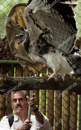 Ron Magill of the Miami Zoo pushes out a new Harpy Eagle (Harpia harpyja) on their new cage at Summit Zoo in Panama City, . The new Harpy Eagle named 'Panama' is 3 years and 8 months old, was born in the Miami Zoo and is replacing an old eagle that died last year. The Harpy Eagle is Panama's national bird