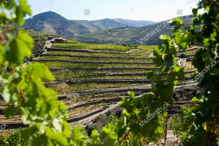 Rows of vines cover the slopes of the hills along the Douro river near Pinhao, northern Portugal. In the foreground is the Quinta da Boavista vineyard, an estate historically associated with British winemaker Baron Joseph James Forrester who first mapped the Douro wine region, the oldest demarcated wine region in the world dating from 1756. Overall, Portuguese wine exports posted a third year of growth in 2012, with a 7.1 percent rise